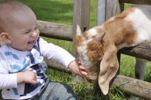 to strocke a goat